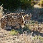 Cheetah programme