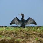 Cormoran lässt sich sein Gefieder trocknen - Riff am natürlichen Pool