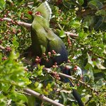 Knysna Lourie / Touraco - Birdwatch from your cottage, veranda or on a walk-about