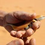 Découvrir la faune locale (Scincus scincus L.)