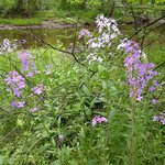 Wild phlox and the White Run on the nature walk