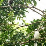 kookaburra couple
