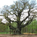 "The Sherwood Forest ""Great Oak"", propped up to keep their only attraction in tact"