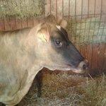 Fudge the cow