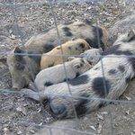 even cuter piglets