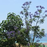 View from roof terrace of Jacaranda Trees