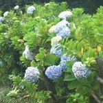 wild hydrangeas growing