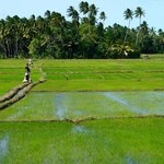 Surrounded by paddy fields