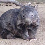 Patrick, the oldest common wombat in captivity