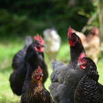 Pippa's free range hens