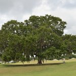 One of many majestic oaks on the course.