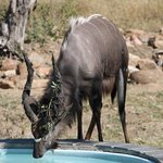 Nyala bull, drinking water at the pool