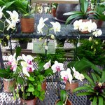 Blooming orchids for sale