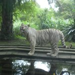 The White Tigers are magnificent.