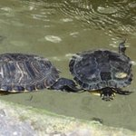 Turtles in the fountain