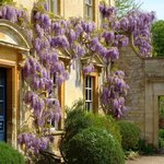 Wisteria on the front of the house