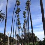 As palmeiras gigantes do Palisades