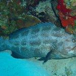 Lots of big grouper!