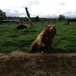 Brown Bear waving for some bread