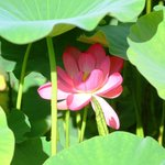The lotus have great story explained on site about how their birth from ancient seeds found in 1
