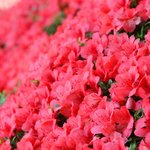Azalea bushes blanket the park with shades of pink in the spring