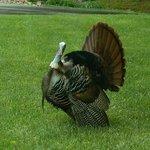 Beautiful Turkey Spotted on Property
