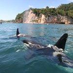 Orcas at play in the Te Whanganui-A-Hei Marine Reserve