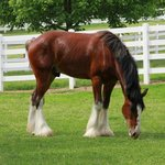 one of the Clydesdales