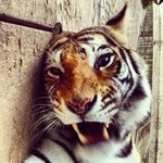 Putt Tiger Style!!! Agrrr!!!