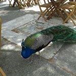 Peacock from restaurant/monastery near Faliraki