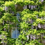 Wisteria Clad Window