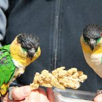Pair of Black-Heaed Caiques enjoying a feed.
