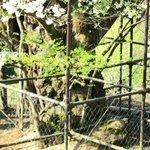 樽見の大桜・・・幹を保護する柵