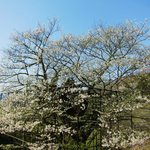 樽見の大桜・・・大桜の左手の桜
