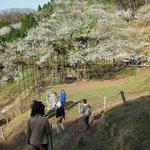 樽見の大桜・・・斜面におおきく咲く大桜全景