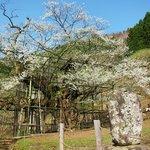 樽見の大桜・・・見事で~す!