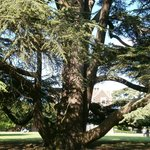 Cedar tree on the lawn in front of the house