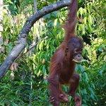 orangutan TNTP