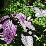 Gorgeous purple-green leaf plant.