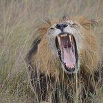 (nook) King Of Beast