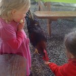 Feeding the rooster