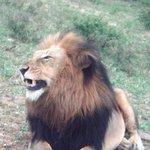 no primeiro safari já vimos o Leão