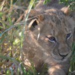 Lion cub only six weeks old.