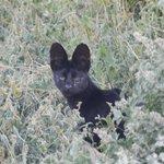 Black Serval Cat Ngutuni Sanctuary