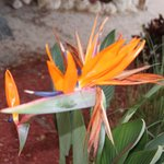 Landscaping: Bird of Paradise
