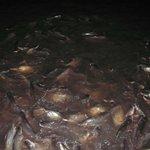 Сомики в реке