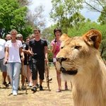 Safari Adventures Lion Encounter