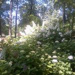 Hydrangeas in May