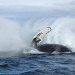 Humpback whale - Mariner Cruises Whale & Seabird Tours