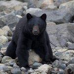 Spring bear on beach